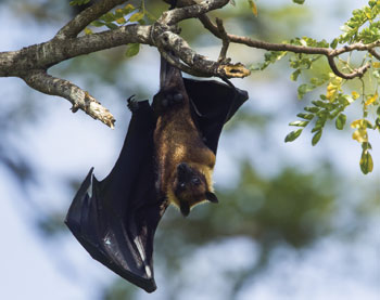 Pteropus fruit bats have been implicated as the source of Nipah virus outbreaks.
