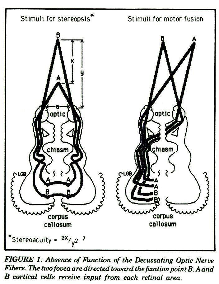 The Optic Chiasm and the Corpus Callosum: Their Relationship to ...