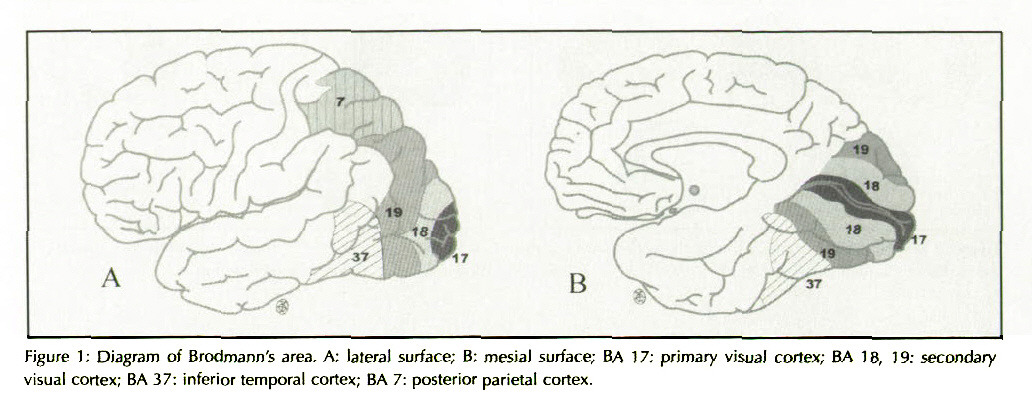 Characteristics of glucose metabolism in the visual cortex of figure 1 diagram of brodmanns area a lateral surface b mesial ccuart Images