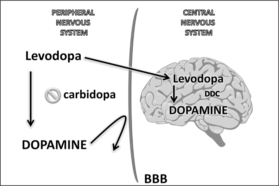 Carbidopa is a peripheral decarboxylase (DDC) inhibitor that prevents peripheral conversion of levodopa (L-DOPA) to dopamine. Dopamine does not cross the blood–brain barrier so it is co-administered with a peripheral DOPA DDC inhibitor such as carbidopa, which prevents the peripheral synthesis of dopamine from L-DOPA, thus allowing more L-DOPA to cross the blood–brain barrier. In the central nervous system, L-DOPA is converted into dopamine by DOPA DDC.