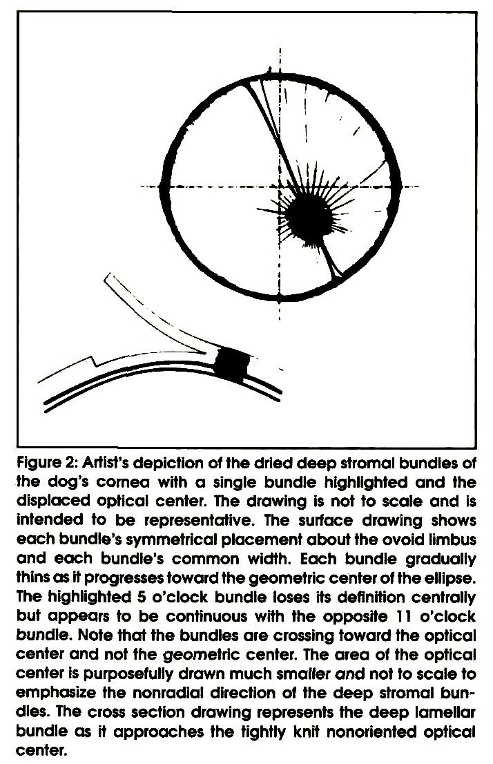 Figure 2: Artist's depiction of the dried deep stromal bundles of the dog's cornea with a single bundle highlighted and the displaced optical center. The drawing is not to scale and is intended to be representative. The surface drawing shows each bundle's symmetrical placement about the ovoid limbus and each bundle's common width. Each bundle gradually thins as It progresses toward the geometric center of the ellipse. The highlighted 5 o'clock bundle loses its definition centrally but appears to be continuous with the opposite 11 o'clock bundle. Note that the bundles are crossing toward the optical center and not the geometric center. The area of the optical center is purposefully drawn much smaller and not to scale to emphasize the nonradial direction of the deep stromal bundles. The cross section drawing represents the deep lamellar bundle as rt approaches the tightly knit nonoriented optical center.