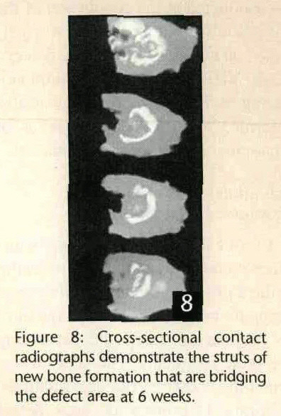 Figure 8: Cross-sectional contact radiographs demonstrate the struts of new bone formation that are bridging the defect area at 6 weeks.