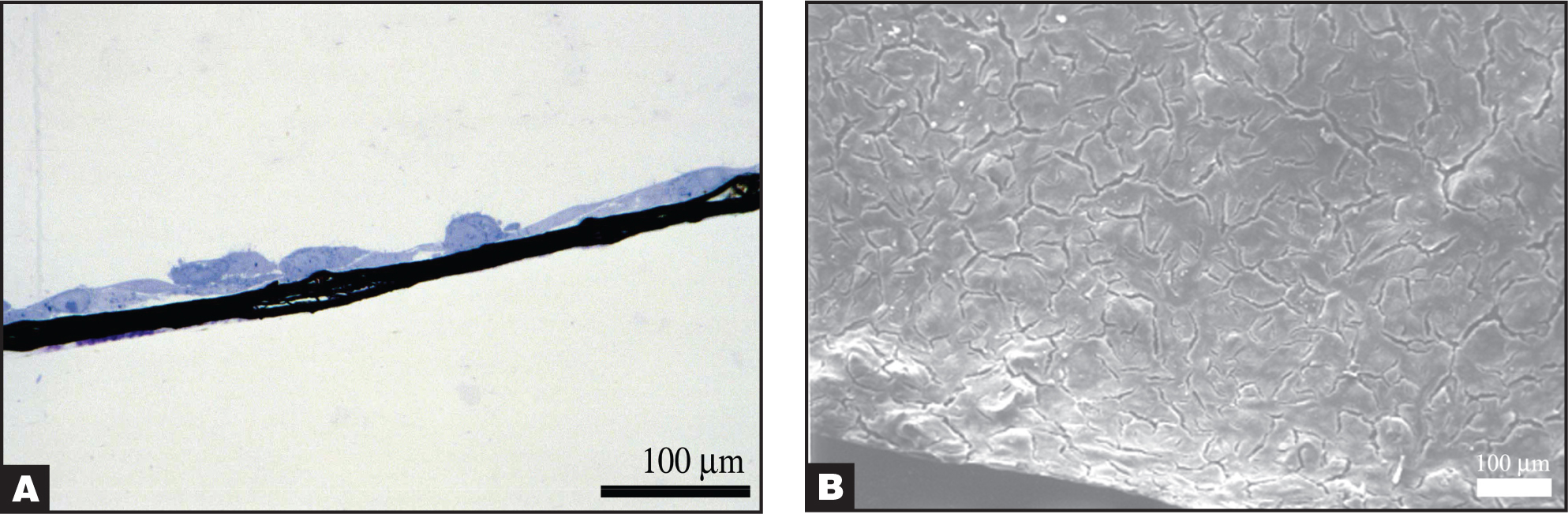 (A) Light micrograph of a histological cross-section of human retinal pigment epithelium cells cultured on bucky paper at day 7 (original magnification 60×). Note the single monolayer with overlapping cellular processes indicating the healthy formation of intercellular junctions. (B) Scanning electron micrograph of human retinal pigment epithelium cells cultured on bucky paper at day 7. The cells form a confluent monolayer and exhibit good growth characteristics.