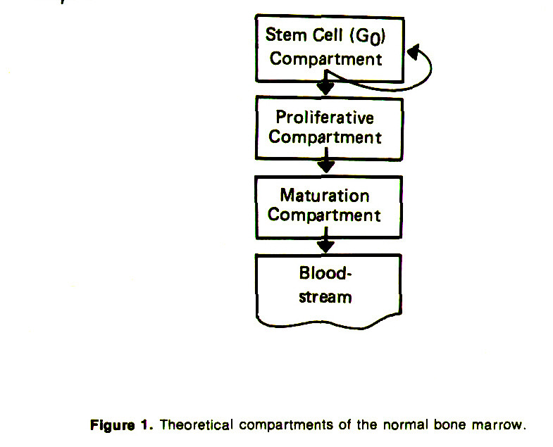 Figure 1. Theoretical compartments of the normal bone marrow.