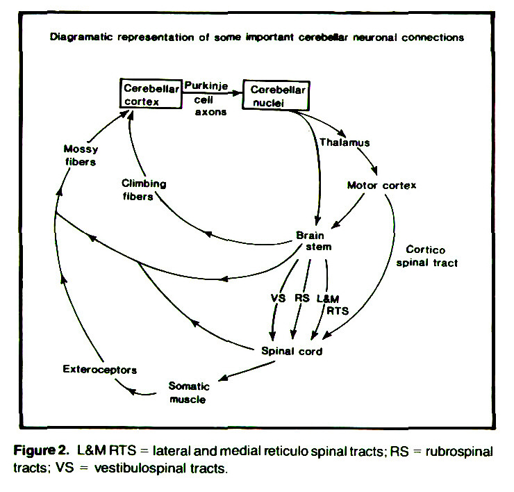 Figure 2. L&M RTS = lateral and medial retículo spinal tracts; RS = rubrospinal tracts; VS = vestibulospinal tracts.