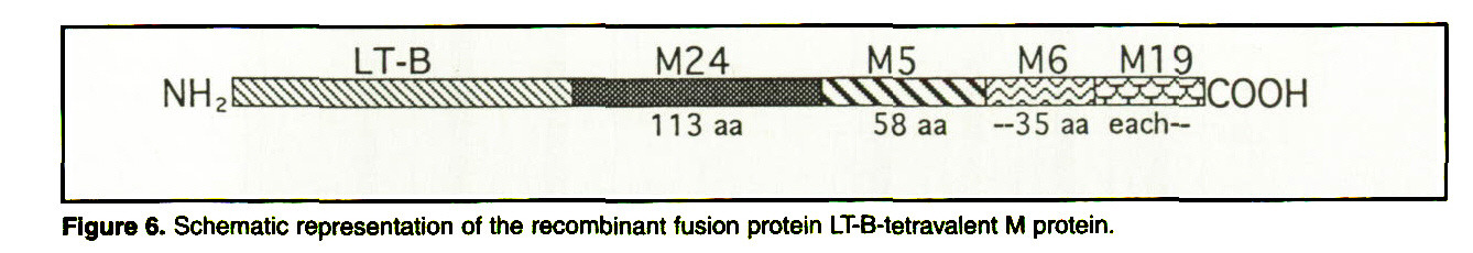 Figure 6. Schematic representation of the recombinant fusion protein LT-B-tetravalent M protein.