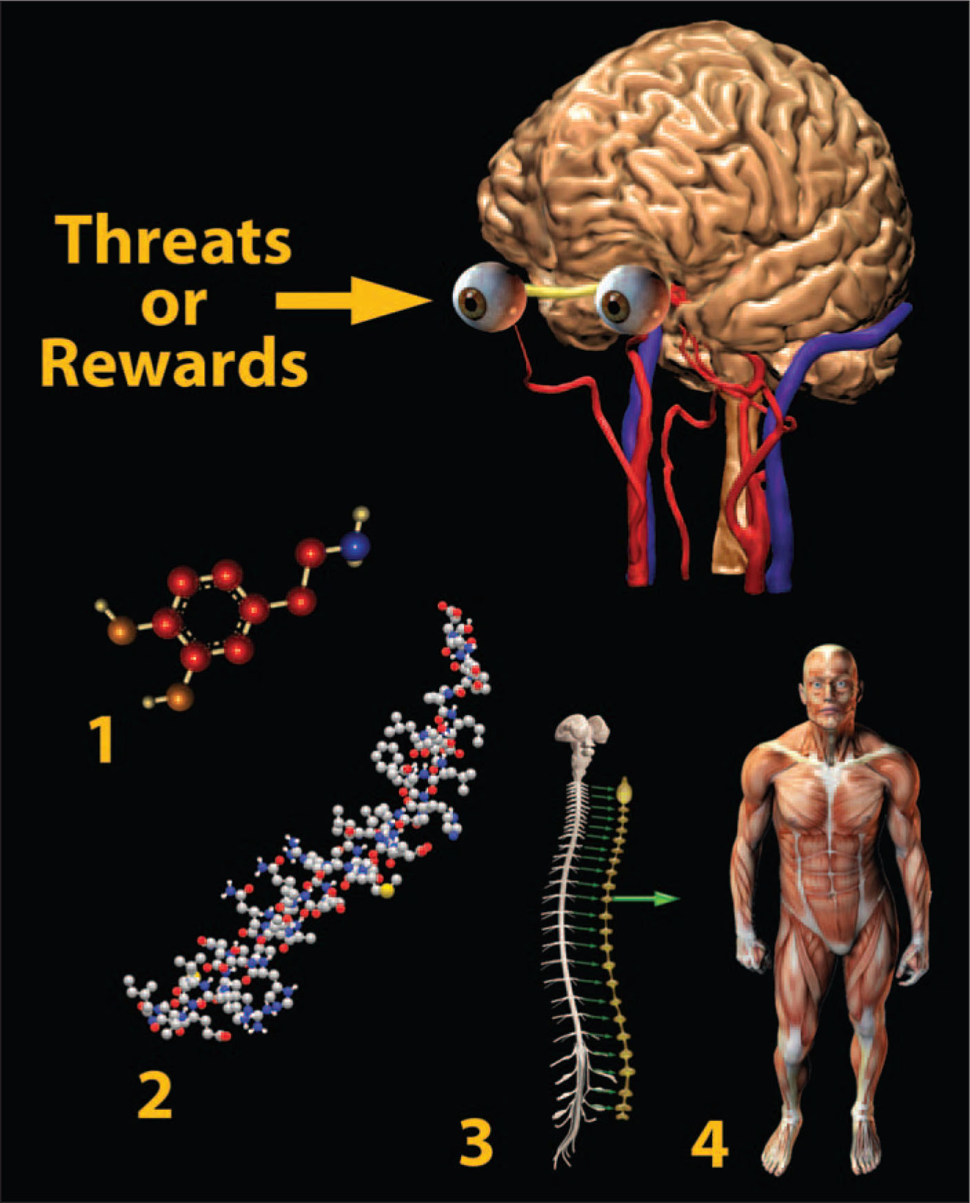 Summary of General Responses to Stimuli Whose Potential Threat or Value Merits a Response. The Brain Reacts by Releasing Regulatory Neurotransmitters, Which Affect Attention and Arousal Level. In Addition, the Autonomic Nervous System Is Activated, and Releasing Factors May Be Secreted to Prepare the Body for the Anticipated Challenge. Genetically Preprogrammed or Learned Action Sequences May Be Implemented Automatically as a Response to Certain Stimuli. All Illustrations are Copyright George I. Viamontes, 2009; Copyright Is Transferred to the Publisher; Used with Permission. A Note from the Editors: All Illustrations in This Article Have Been Created by George I. Viamontes, MD, PhD, for Specific Use in This Issue of Psychiatric Annals. Structural Data for the Molecules Used in the Figures Were Obtained from the Research Collaboratory for Structural Informatics Protein Data Bank (RSCB PDB).39
