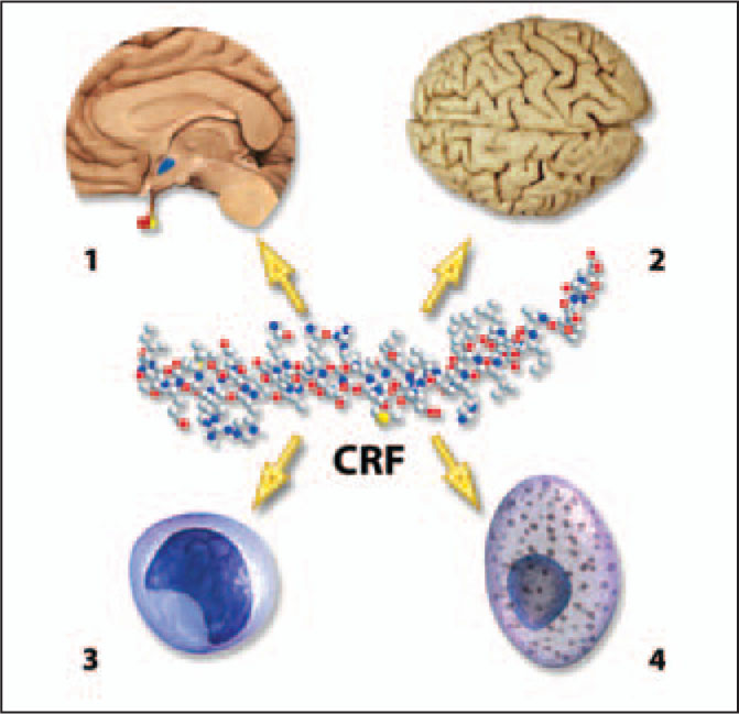 CRF Effects. CRF is the Preeminent Modulator of the Mammalian Stress Response. It Activates Both Mast Cells and Mononuclear Phagocytes and Can Generate Local Inflammatory Responses in Organs Such as the Lungs, the Intestines, and the Skin. CRF Receptors are also Present in Many Brain Regions, and CRF Binding at These Receptors Generally Results in Activation. On a Systemic Basis, CRF Induces Release of ACTH by the Anterior Pituitary, Which in Turn Promotes Release of Cortisol by the Adrenal Cortex. A Note from the Editors: All Illustrations in This Article Have Been Created by George I. Viamontes, MD, PhD, for Specific Use in This Issue of Psychiatric Annals.