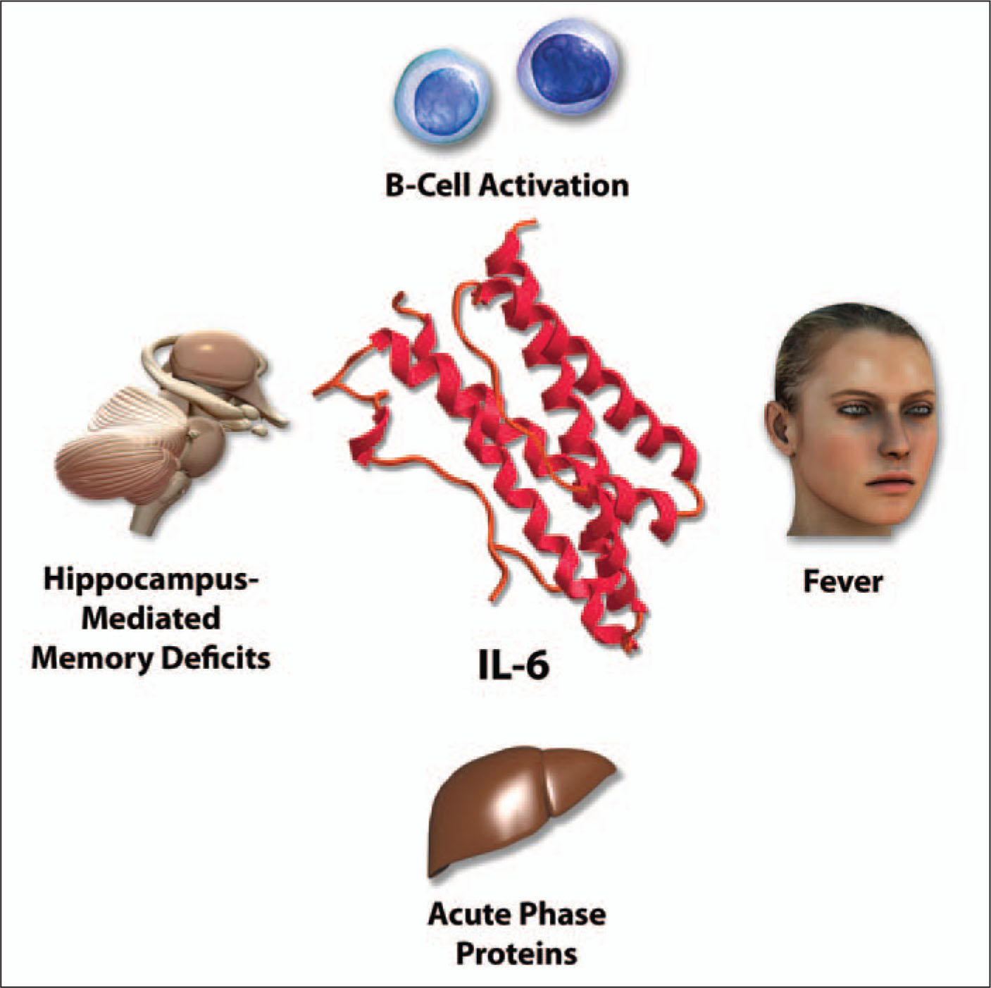 IL-6 Is Produced by a Variety of Cell Types that Have Been Activated by IL-1, TNF, or Microbial Products, Including Macrophages, Endothelial Cells, Fibroblasts, and Activated T-Cells. in Addition, IL-6 Can Be Secreted by Tumor Cells, Including Cardiac Myxomas, as Well as Bladder and Cervical Cancers. IL-6 Is Pyrogenic. It Induces the Production of Acute-Phase Proteins by Hepatocytes and Stimulates the Growth of Differentiated, Antibody-Producing B-Cells. IL-6 Amplifies the Sickness Reaction to Other Cytokines and Can Induce Hippocampus-Mediated Memory Deficits. A Note from the Editors: All Illustrations in This Article Have Been Created by George I. Viamontes, MD, PhD, for Specific Use in This Issue of Psychiatric Annals.