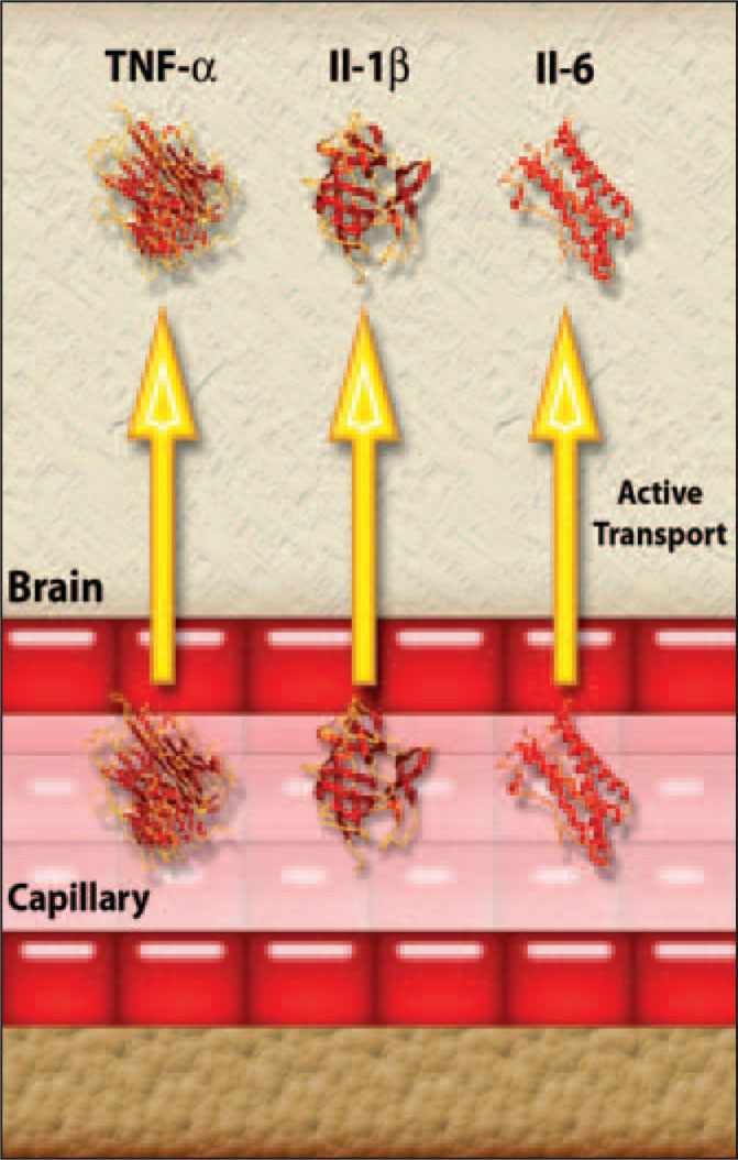 TNF-alpha, IL-1 Beta, and IL-6 Are Actively Transported into the Brain by Endothelial Cells. A Note from the Editors: All Illustrations in This Article Have Been Created by George I. Viamontes, MD, PhD, for Specific Use in This Issue of Psychiatric Annals.
