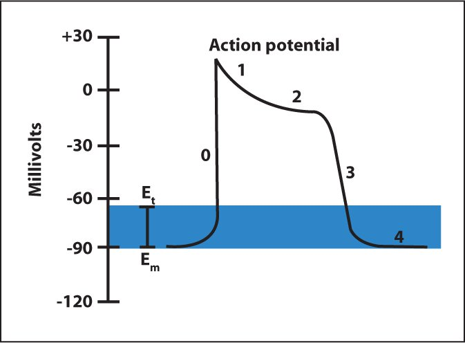 Myocardial action potential.Image courtesy of Marley Doyle, MD. Reprinted with permission.