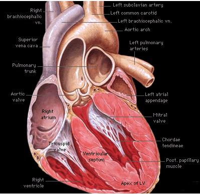 Anterior-Anatomy